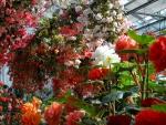Amazing Begonias