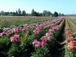 pink dahlia field