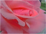 Lovely Pink Rose