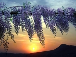 Wisteria Blooming against the Sun