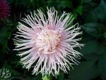 Spiky daisy