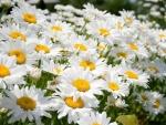 Lovely Summer Flowers