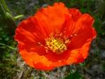 Alaskan Red Poppy