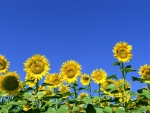 Blooming Sunflowers in the Blue Sky