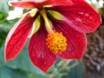 Red Abutilon Flower