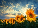 Sunflowers field under a cloud sky
