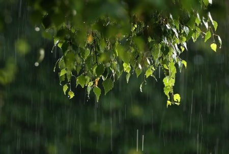Rainy day - tree, wet, green, birch, rain