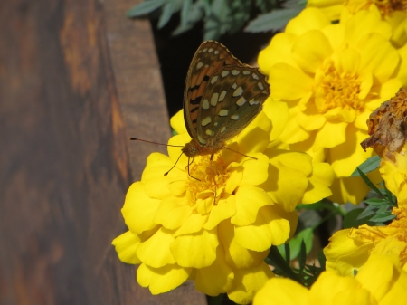 Butterfly on Flower - wings, yellow, blossoms, petals, insect