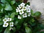 White flower Allysium