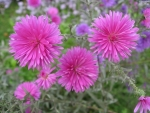 Cool Pink Asters