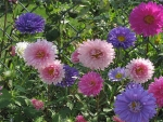 Mix of Pink Asters
