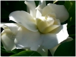 my beautiful gardenia