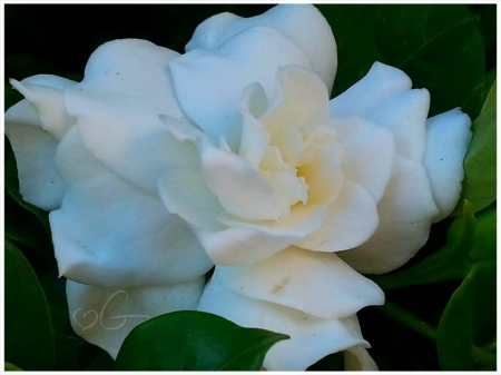 my lovely gardenia - gardenia, flowers, white flowers, beautiful flowers