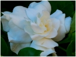 my lovely gardenia