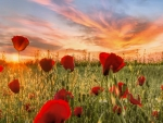 Sunset at Poppy Field