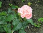 Rose of Summer 2014--Brampton Ontario Canada