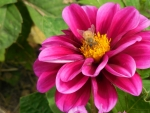 Flower with Battle Scarred Honeybee