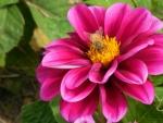 Flower with Battle Scarred Honeybee