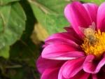 Flower with Battle Scarred Honeybee II