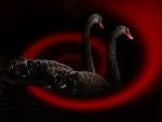 Black Swan/Pair
