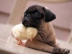 Puppy and Baby Chicken