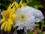 Yellow & White Asters
