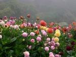 Fog Over Dahlias