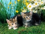 kittens couple in the flower garden