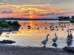 ducks and geese on a lake at sunset hdr