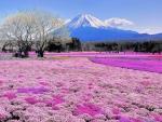 mt. fuji beyond a pink flowers field