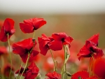 lovely red poppies