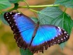 MAJESTIC Blue Butterfly