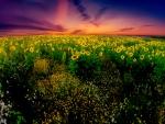 Sunflowers evening
