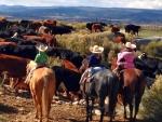 Hearding Cattle