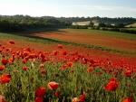 Poppy Dawn
