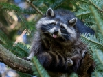 Naughty raccoon