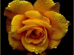Drops on Yellow Rose