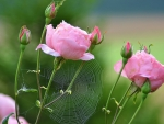 Pink Roses with Spiderweb