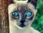 Amazing Blue Eyes -Cat F