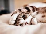 Lazy Cat f