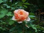 Forest Rose