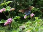 Female Tiger Swallowtail on Lantana
