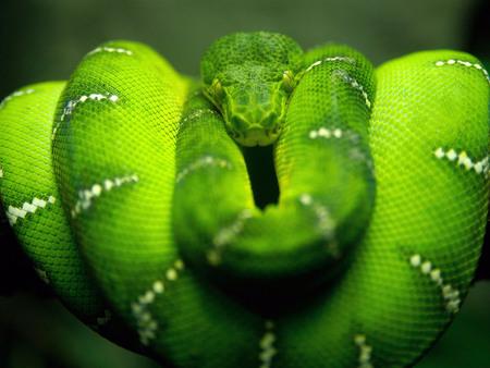 green snake - jungle, snake, reptiles, wallpaper, geen, green snake, animal, snake beauty, animals, danger, green, peacful, tree snake, wild