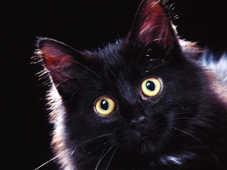 Black Cat (Halloween) - cats, kitten, black, black cat, cute, on black, cat, halloween