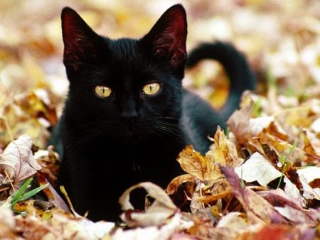 Black Cat - Autumn Leaves - cats, gold eyes, fall, kitten, leaves, black, cat, autumn