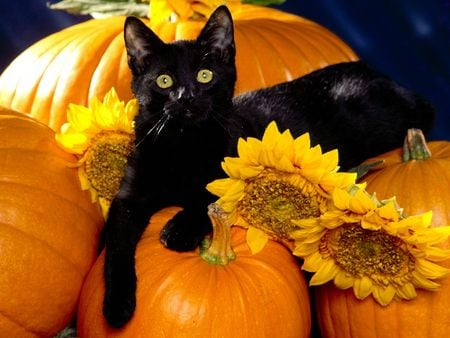 Halloween Black Cat on a Pumpkin - autumn, pumpkin, cat, halloween, sooooooo cute, fall