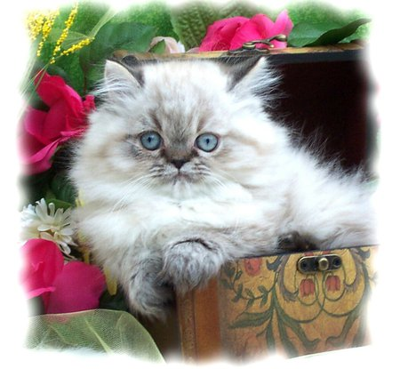 Just lying around - flowers, kitten, relaxing, persian cat