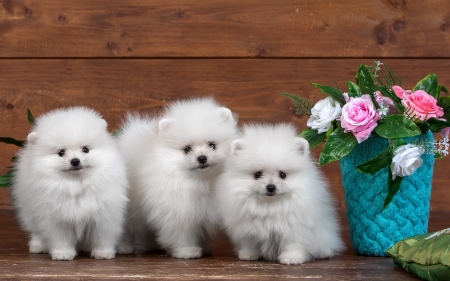 Pomeranians - pmeranian, rose, fluffy, cute, flower, spitz, white, pink, wood, puppy, dog, blue
