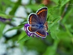 Butterfly VI.