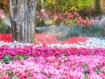 Blooming Cyclamen
